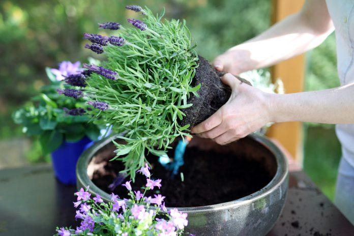 vaste planten verplanten